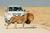 lion Panthera leo, in front of tourist car, Namibia, Etosha NP