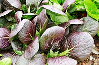 Asian salad plants Brassica rapa in vegetable bed