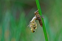 Four-spotted Chaser or Four-spotted Skimmer (Libellula quadrimaculata), hatching