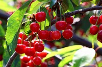 Many Sweet Cherries on the Tree