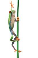 Tier,Tiere,Amphibien,Lurch,Lurche,Froschlurch,Froschlurche,Frosch,Froesche,Laubfrosch,Laubfroesche,Rotaugenfrosch,Rotaugenfroesche,Rotaugen_Laubfrosch...