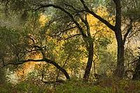 oak trees during autumn in GARLAND REGIONAL PARK, USA, California, Carmel Valley