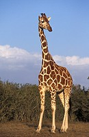 reticulated giraffe Giraffa camelopardalis recticulata, Kenya