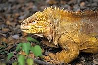 Galapagos land iguana Conolophus subcristatus, portrait, Ecuador, Galapagos Islands