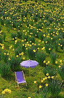 Narcissus meadow with canvas chair and sunshade