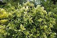 climbing euonymus, wintercreeper euonymus, winter_creeper Euonymus fortunei ´Golden Tip´, Euonymus fortunei Golden Tip, shrub in garden