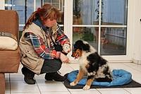 Australian Shepherd Canis lupus f. familiaris, woman putting alarm clock under dog basket of puppy