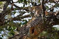 Wild african leopard in acacia tree enjoys the sun sunshine in Masai Mara National Nature Reserve Kenya East Africa