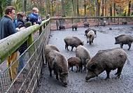 wild boar, pig, wild boar Sus scrofa, family feeding wild boars on the Hohenstein in autumn, Germany, North Rhine_Westphalia, Ruhr Area, Witten