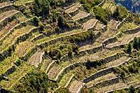 Cultivations in terrace, Corniglia La Spezia, Italy