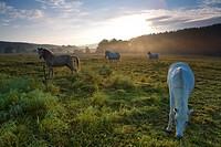 domestic horse Equus przewalskii f. caballus, horsesw on pasture in morning mist, Germany, Saxony, Vogtlaendische Schweiz