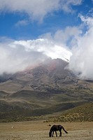 vulcano Cotopaxi with wild horses in the foreground, Ecuador
