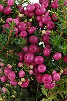Prickly Heath Pernettya mucronata, Gaultheria mucronata, fruiting