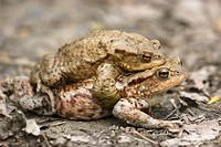 European Toads (Bufo bufo) mating, Baden-Wuerttemberg, Germany, Europe