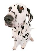 Dalmatian Canis lupus f. familiaris, Dalmatian looking into the camera