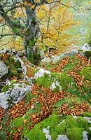 common beech Fagus sylvatica, Beech at autumn, Spain, Asturias, Picos De Europa National Park, Lagos de Covadonga