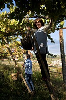Women harvesting grapes for Vinho Verde wine in a traditional manner, Quinta de Carapeços near Amarante, Porto area, North Portugal region, Portugal, ...