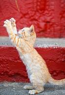 redtabby kitten