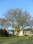 European plane, maple_leaved plane, London plane, London planetree Platanus hispanica, Platanus x hybrida, Platanus hybrida, Platanus acerifolia, tree...