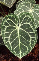 Close_up abstract of a flamingo flower leaf Anthurium clarinervium in a hothouse showing the characteristic heart_shaped leaf and intricate vein patte...