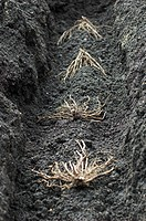 Asparagus crowns being planted Gijnlim in soil