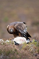 Golden eagle Aquila chrysaetos scavenging a lamb carcass in the Cairngorm mountains, Scotland