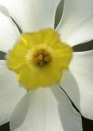 Sunlight shining through daffodil petals