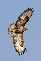 Eurasian buzzard Buteo buteo, flying, Germany, Hesse