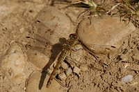 Female common darter Dragonfly Sympetrum striolatum on path