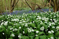 Bluebells and ramsons growing in mass in a Norfolk wood in spring