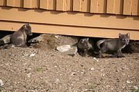 Young arctic fox Vulpes lagopus cubs playing outside their den under a house in Ny Alesund
