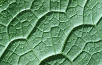 Comfrey leaf Symphytum officinale Close up abstract image of underside of leaf showing pattern and texture