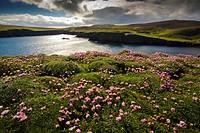 sea thrift, western thrift Armeria maritima, in backlight at a bay of Fair Isle, United Kingdom, Scotland, Shetland Islands, Fair Isle