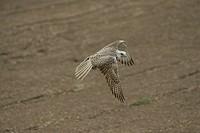 Trained Saker falcon, Germany