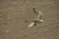 Trained Saker falcon, hybrid Saker Gerfalcon, Germany