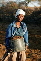 Woman collecting dung for building material, Cattlepost Bothatoga, Botswana, Africa