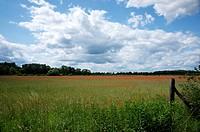 Cornfield with poppies, Bornim, Brandenburg, Germany