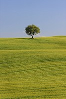 hilly landscape with grain fields and oak, Italy, Tuscany