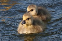 Two newborn Canadian gosling chicks swimming in Potter Marsh, Anchorage, Southcentral Alaska, Spring