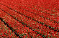 Field of cultivated tulips Tulipa sp., Netherlands
