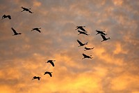 European Crane Grus grus in flight at sunrise in autumn, birdmigration, Lac du Der, France