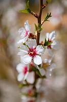 White almond tree flowers on early Mediterranean spring