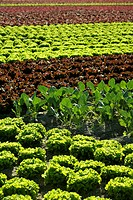 Red little baby lettuce in the fields from spain