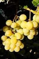 Delicious yellow autumn grape fruit macro detail