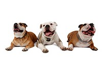 English bulldog Canis lupus f. familiaris, three dogs lying side by side and panting