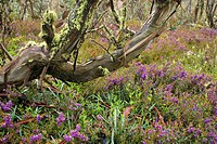 Alpine Hovea Hovea montana, colourful blooming in a forest of snow gums, Eucalyptus pauciflora, in early , Australia, Victoria, Bogong Highplains, Alp...