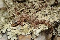European leaf_toed gecko Phyllodactylus europaeus, Euleptes europaeus , on lichens, Italy, Sardegna