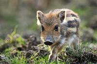 wild boar, pig, wild boar Sus scrofa, Young pig, Germany, North Rhine_Westphalia, Sauerland