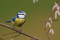 blue tit Parus caeruleus, sits on hazel twig, Germany, Rhineland_Palatinate