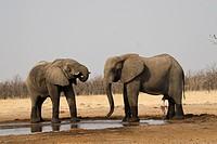 Two African Bush Elephants (Loxodonta africana) at a waterhole, Chobe National Park, Botswana, Africa